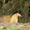 """Mammals are always a special bonus of our birding: Participant Peggy Keller captured this shot of an elegant Yellow-throated Marten at Khao Yai NP on a previous year's Thailand tour.<div id=""""caption_tourlink"""" align=""""right"""">Link to: <a id=""""caption_tourlink"""" href=""""http://www.fieldguides.com/thailand.htm"""" target=""""_blank"""">THAILAND</a><br>[photo © Peggy Keller]</div>"""