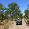 "Africa without a game drive?  Of course not!  Here's our 2008 Zambia & Malawi group on a <i>mopane</i> forest outing in another image by Marge Barrett.  This forest type is characteristic across south-central Africa.<div id=""caption_tourlink"" align=""right"">Link to: <a id=""caption_tourlink"" href=""http://www.fieldguides.com/malawi.htm"" target=""_blank"">ZAMBIA & MALAWI</a><br>[photo © Marge Barrett]</div>"