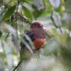 "Considered ""Near Threatened,"" the lovely Ward's Trogon has a very local distribution in the eastern Himalayas.  Our 2008 group enjoyed lengthy views of a handsome male, photographed by guide Richard Webster at Namling at 2200 meters elevation.<div id=""caption_tourlink"" align=""right"">Link to: <a id=""caption_tourlink"" href=""http://www.fieldguides.com/bhutan.htm"" target=""_blank"">BHUTAN</a><br>[photo © Richard Webster]</div>"