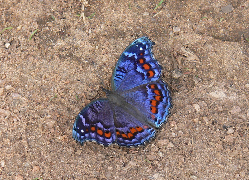 "It's hard not to get distracted by butterflies when there are things like this aptly named Gaudy Commodore <i>(Precis octavia)</i> around and also photographed by Marge on our Zambia & Malawi tour.<div id=""caption_tourlink"" align=""right"">Link to: <a id=""caption_tourlink"" href=""http://www.fieldguides.com/malawi.htm"" target=""_blank"">ZAMBIA & MALAWI</a><br>[photo © Marge Barrett]</div>"
