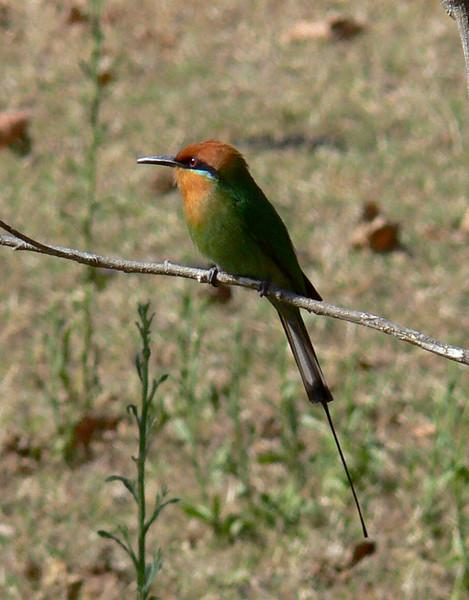 "Boehm's Bee-eater is one of the key Zambia & Malawi trip birds.  We did very well with them at Liwonde, where they are fairly common and our group saw up to 20 in a day.  It was a new bird for almost everyone.<div id=""caption_tourlink"" align=""right"">Link to: <a id=""caption_tourlink"" href=""http://www.fieldguides.com/malawi.htm"" target=""_blank"">ZAMBIA & MALAWI</a><br>[photo © Marge Barrett]</div>"
