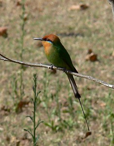 Boehm's Bee-eater is one of the key Zambia & Malawi trip birds.  We did very well with them at Liwonde, where they are fairly common and our group saw up to 20 in a day.  It was a new bird for almost everyone.Link to: ZAMBIA & MALAWI[photo © Marge Barrett]