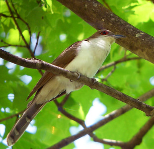 This Black-billed Cuckoo paid a patient visit to our Virginias' Warblers tour recently in this image by participant Robert McNab.Link to: VIRGINIAS' WARBLERS[photo © Robert McNab]