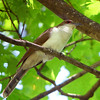 "This Black-billed Cuckoo paid a patient visit to our Virginias' Warblers tour recently in this image by participant Robert McNab.<div id=""caption_tourlink"" align=""right"">Link to: <a id=""caption_tourlink"" href=""http://www.fieldguides.com/virginia.htm"" target=""_blank"">VIRGINIAS' WARBLERS</a><br>[photo © Robert McNab]</div>"