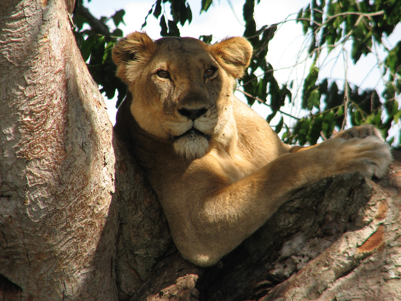 "Jumping continents, we caught the attention of a lioness along the route of our 2008 Uganda tour in this image by participan Jessica Jenner.<div id=""caption_tourlink"" align=""right"">Link to: <a id=""caption_tourlink"" href=""http://www.fieldguides.com/uganda.htm"" target=""_blank"">UGANDA: SHOEBILL, RIFT ENDEMICS & GORILLAS</a><br>[photo © Jessica Jenner]</div>"