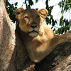 """Jumping continents, we caught the attention of a lioness along the route of our 2008 Uganda tour in this image by participan Jessica Jenner.<div id=""""caption_tourlink"""" align=""""right"""">Link to: <a id=""""caption_tourlink"""" href=""""http://www.fieldguides.com/uganda.htm"""" target=""""_blank"""">UGANDA: SHOEBILL, RIFT ENDEMICS & GORILLAS</a><br>[photo © Jessica Jenner]</div>"""