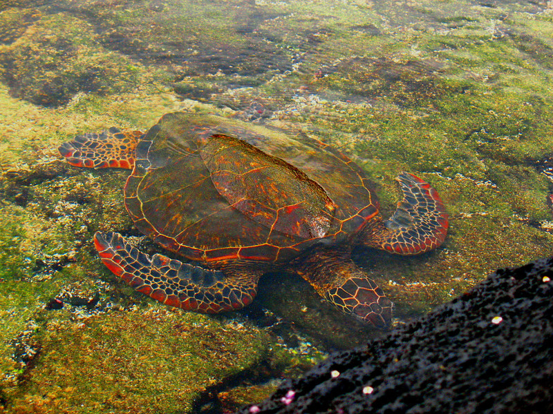 "The light was just right to show off the reds in this Green Sea Turtle.<div id=""caption_tourlink"" align=""right"">Link to: <a id=""caption_tourlink"" href=""http://www.fieldguides.com/hawaii.htm"" target=""_blank"">HAWAII</a><br>[photo © Linda J. Nuttall]</div>"