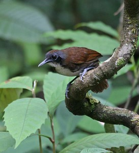 "Jumping to Panama, imagine yourself watching the activity at a seething army ant swarm and what might you see?  Well, the ""obligate"" ant followers, of course -- those birds that make their living almost entirely by feeding on insects and invertebrates scared up by the marauding ants.  Here's a Bicolored Antbird that participant Kevin Heffernan photographed on one of our 2008 Panama's Canopy Tower tours.Link to: PANAMA'S CANOPY TOWER[photo © Kevin Heffernan]"
