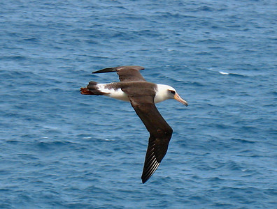 Kilauea Point on Kauai is a fabulous place to watch a variety of seabirds, including the large and graceful Laysan Albatross.Link to: HAWAII[photo © Linda J. Nuttall]