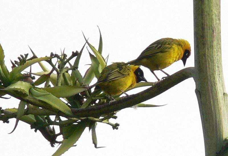 """Two Bertram's Weavers, also by Marge Barrett.  Our 2008 Zambia & Malawi group saw a fine pair of this very local, restricted-range species at Luwawa Lodge, and then another pair up on the Zomba Plateau.<div id=""""caption_tourlink"""" align=""""right"""">Link to: <a id=""""caption_tourlink"""" href=""""http://www.fieldguides.com/malawi.htm"""" target=""""_blank"""">ZAMBIA & MALAWI</a><br>[photo © Marge Barrett]</div>"""