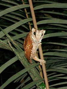 "Folks on the extension to our Thailand trip got great looks at the amazing Oriental Bay-Owl at Khao Nor Chuchi Reserve.  Notes guide Rose Ann Rowlett, who took this photo: ""What a weirdly wonderful owl!  It is said to feed on small mammals, birds, lizards, snakes, frogs, and large insects, particularly beetles, and it perches sideways on vertical saplings in the understory, capturing its prey in flight.  Its quavering, musical calls filled the forest--after the noisy cicadas piped down.""Link to: THAILAND[photo © Rose Ann Rowlett]"