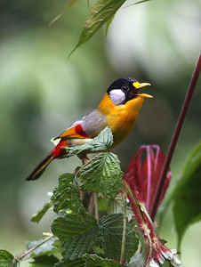 The lovely Silver-eared Mesia, also photographed by guide Richard Webster on our 2008 Bhutan tour, is much more common and has a broader distribution, ranging from Bhutan across Southeast Asia to the island of Sumatra.Link to: BHUTAN[photo © Richard Webster]