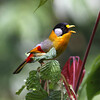 """The lovely Silver-eared Mesia, also photographed by guide Richard Webster on our 2008 Bhutan tour, is much more common and has a broader distribution, ranging from Bhutan across Southeast Asia to the island of Sumatra.<div id=""""caption_tourlink"""" align=""""right"""">Link to: <a id=""""caption_tourlink"""" href=""""http://www.fieldguides.com/bhutan.htm"""" target=""""_blank"""">BHUTAN</a><br>[photo © Richard Webster]</div>"""