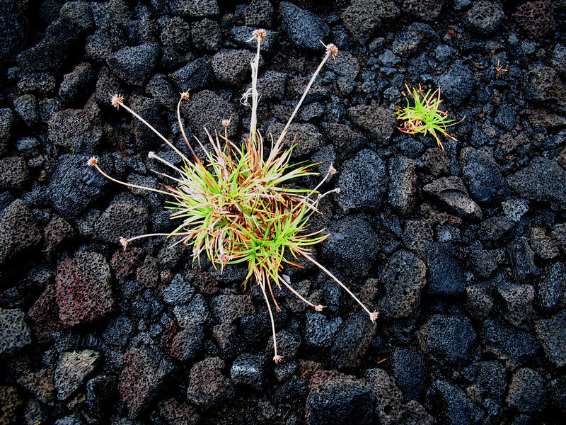 "One of Linda's images from Hawaii Volcanoes NP, where lava provides an elegantly stark backdrop for this still-life.<div id=""caption_tourlink"" align=""right"">Link to: <a id=""caption_tourlink"" href=""http://www.fieldguides.com/hawaii.htm"" target=""_blank"">HAWAII</a><br>[photo © Linda J. Nuttall]</div>"