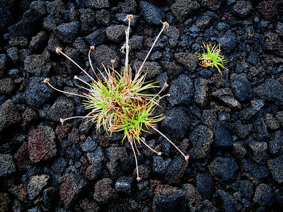 One of Linda's images from Hawaii Volcanoes NP, where lava provides an elegantly stark backdrop for this still-life.Link to: HAWAII[photo © Linda J. Nuttall]