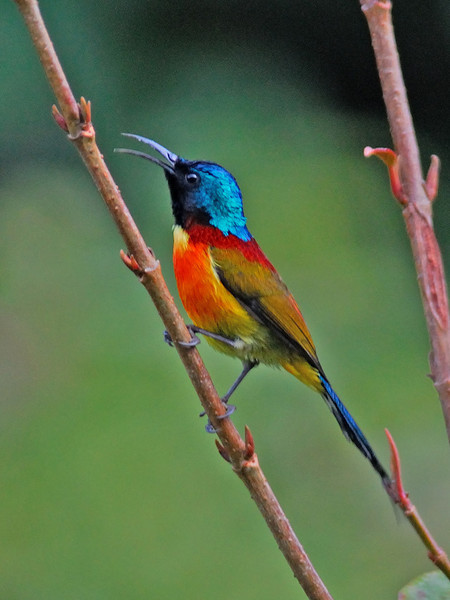 "And a startlingly colorful Green-tailed Sunbird also from Doi Inthanon NP.<div id=""caption_tourlink"" align=""right"">Link to: <a id=""caption_tourlink"" href=""http://www.fieldguides.com/thailand.htm"" target=""_blank"">THAILAND</a><br>[photo © Uthai Treesucon]</div>"