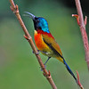 """And a startlingly colorful Green-tailed Sunbird also from Doi Inthanon NP.<div id=""""caption_tourlink"""" align=""""right"""">Link to: <a id=""""caption_tourlink"""" href=""""http://www.fieldguides.com/thailand.htm"""" target=""""_blank"""">THAILAND</a><br>[photo © Uthai Treesucon]</div>"""