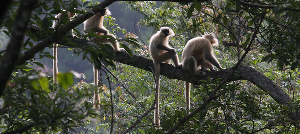 Golden Langurs, here above Tingtibi at 800 elevation, are nearly endemic to Bhutan but quite common along the Zhemgang route.Link to: BHUTAN[photo © Richard Webster]