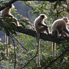 "Golden Langurs, here above Tingtibi at 800 elevation, are nearly endemic to Bhutan but quite common along the Zhemgang route.<div id=""caption_tourlink"" align=""right"">Link to: <a id=""caption_tourlink"" href=""http://www.fieldguides.com/bhutan.htm"" target=""_blank"">BHUTAN</a><br>[photo © Richard Webster]</div>"