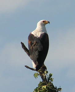 Jessica also sent in this image of a regal African Fish-Eagle from Uganda.Link to: UGANDA[photo © Jessica Jenner]