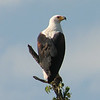 "Jessica also sent in this image of a regal African Fish-Eagle from Uganda.<div id=""caption_tourlink"" align=""right"">Link to: <a id=""caption_tourlink"" href=""http://www.fieldguides.com/uganda.htm"" target=""_blank"">UGANDA</a><br>[photo © Jessica Jenner]</div>"
