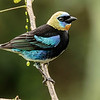 Golden-hooded Tanager. Photo by participant Kevin Heffernan.