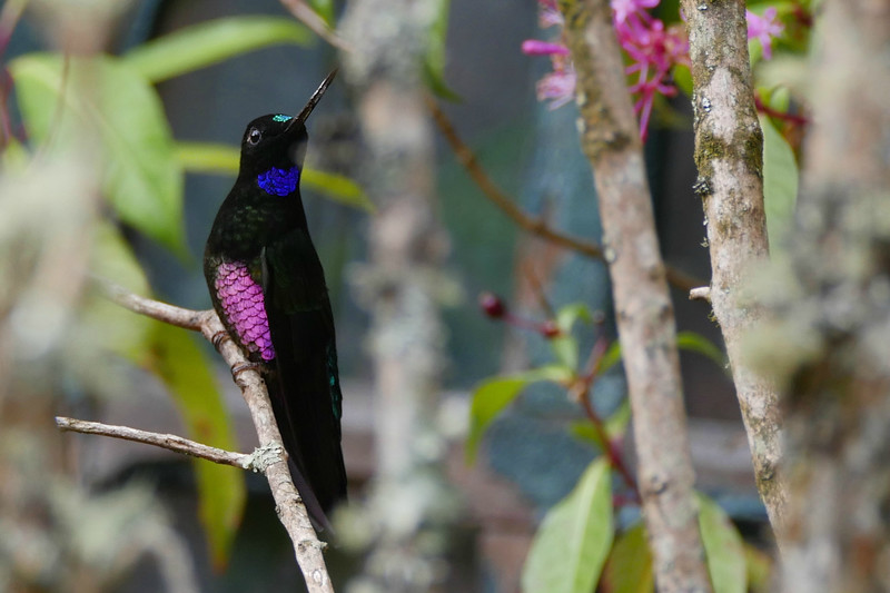 Blue-throated Starfrontlet. Photo by guide Jesse Fagan.