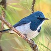 Our last tour showcased this month is Thailand. A beautiful Ultramarine Flycatcher seems like a good place to start. Photo by participant Greg Vassilopoulos.
