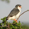 Pygmy Falcon. Photo by guide Terry Stevenson.