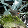 Siberian Rubythroat have a massive breeding range across northern Asia but shrink back to a smaller winter range and Thailand is in the heart of it. Photo by participant Greg Vassilopoulos.
