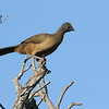 Plain Chachalaca may not be much to look at but they are extremely vociferous at times. Photo by participant John Berry.