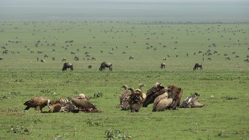 The Serengeti Plains draw a staggering number of Blue Wildebeest seasonally and so many large mammals certainly attracts numerous scavengers. Photo by guide Terry Stevenson.