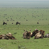 The Serengeti Plains draw a staggering number of Blue Wildebeest seasonally and with them come scavengers like these vultures -- dark-billed White-backs, a pink-headed Lappet-faced, and pale-billed Rueppell's Griffons. Photo by guide Terry Stevenson.
