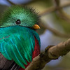 Resplendent Quetzal. Photo by guide Tom Johnson.
