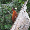Chestnut Woodpeckers are known for being fond of ants and termites. Photo by guide Willy Perez.