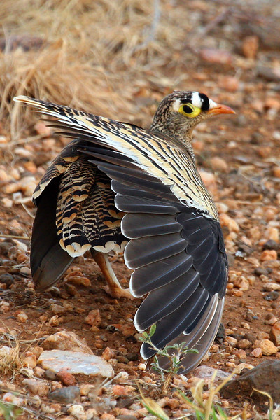 "Lichtenstein's Sandgrouse in full wing stretch.<div id=""caption_tourlink"" align=""right"">Link to: <a id=""caption_tourlink"" href=""http://www.fieldguides.com/kenya.htm"" target=""_blank"">KENYA</a><br>[photo © Paul Thomas]</div>"
