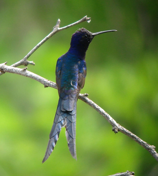 "Here's an eyecatcher, and a rather large one for its kind: one of the hummer specialties of Brazil, the Swallow-tailed Hummingbird.<div id=""caption_tourlink"" align=""right"">Link to: <a id=""caption_tourlink"" href=""http://www.fieldguides.com/nebrazil.htm"" target=""_blank"">NORTHEASTERN BRAZIL: LONG LIVE THE LEAR'S</a><br>[photo © Bret Whitney]</div>"