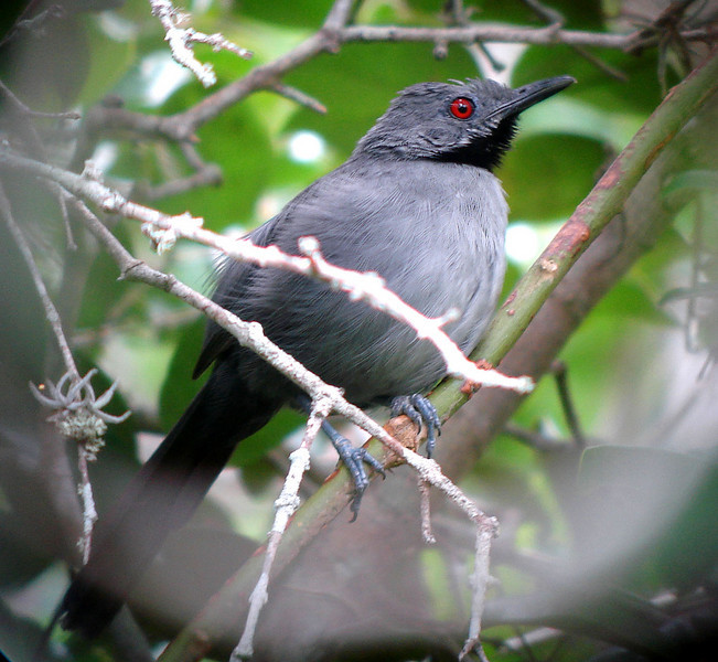"Check out that red eye!  Slender Antbird is one of the numerous rare and endemic birds we seek on our Northeastern Brazil tour.<div id=""caption_tourlink"" align=""right"">Link to: <a id=""caption_tourlink"" href=""http://www.fieldguides.com/nebrazil.htm"" target=""_blank"">NORTHEASTERN BRAZIL: LONG LIVE THE LEAR'S</a><br>[photo © Bret Whitney]</div>"