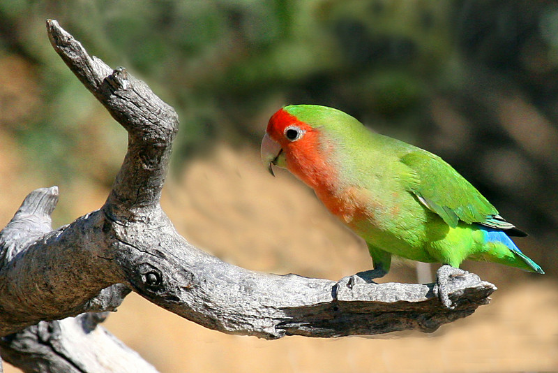 "A lovely Rosy-faced Lovebird<div id=""caption_tourlink"" align=""right"">Link to: <a id=""caption_tourlink"" href=""http://www.fieldguides.com/namibia.htm"" target=""_blank"">NAMIBIA & BOTSWANA</a><br>[photo © participant Paul Thomas]</div>"