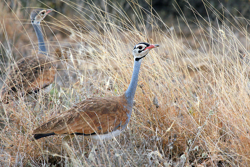 "Finally, coming full circle back around to Africa, a few of participant Paul Thomas' images from one of our Kenya tours.  Here, White-bellied Bustards.<div id=""caption_tourlink"" align=""right"">Link to: <a id=""caption_tourlink"" href=""http://www.fieldguides.com/kenya.htm"" target=""_blank"">KENYA</a><br>[photo © Paul Thomas]</div>"