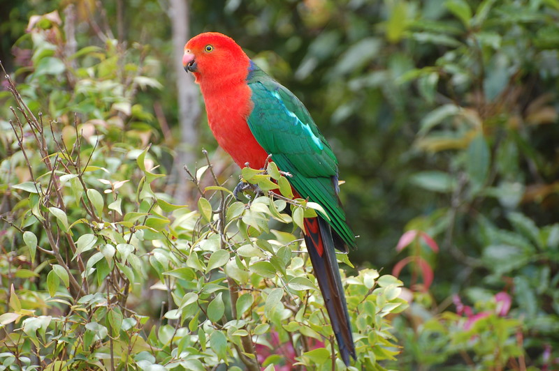 "A very regal Australian King Parrot in Lamington National Park.<div id=""caption_tourlink"" align=""right"">Link to: <a id=""caption_tourlink"" href=""http://www.fieldguides.com/naz.htm"" target=""_blank"">NEW GUINEA & AUSTRALIA</a><br>[photo © Jack Brown]</div>"