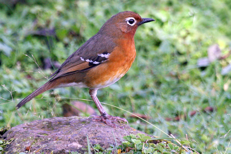 "A lovely Abyssinian Ground Thrush<div id=""caption_tourlink"" align=""right"">Link to: <a id=""caption_tourlink"" href=""http://www.fieldguides.com/kenya.htm"" target=""_blank"">KENYA</a><br>[photo © Paul Thomas]</div>"