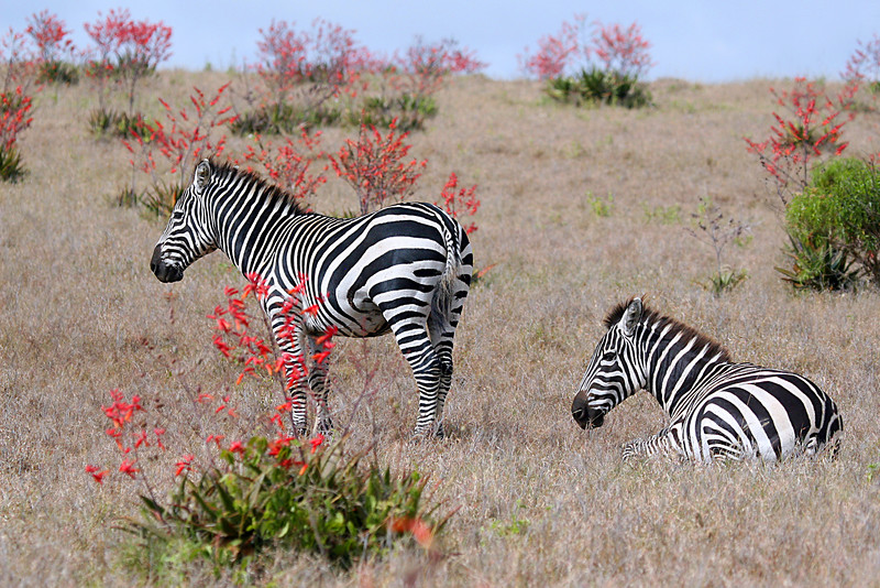 "Common Zebras amidst the flowering landscape<div id=""caption_tourlink"" align=""right"">Link to: <a id=""caption_tourlink"" href=""http://www.fieldguides.com/kenya.htm"" target=""_blank"">KENYA</a><br>[photo © Paul Thomas]</div>"
