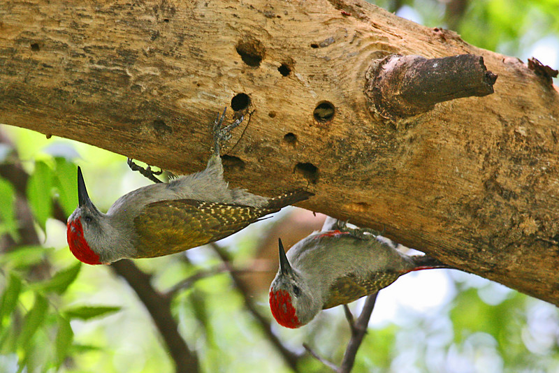 "Gray Woodpeckers<div id=""caption_tourlink"" align=""right"">Link to: <a id=""caption_tourlink"" href=""http://www.fieldguides.com/kenya.htm"" target=""_blank"">KENYA</a><br>[photo © Paul Thomas]</div>"