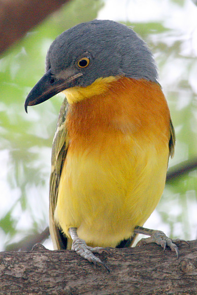 "...and an impressive and colorful Gray-headed Bushshrike.  We'll no doubt have more photos to share next emailing!<div id=""caption_tourlink"" align=""right"">Link to: <a id=""caption_tourlink"" href=""http://www.fieldguides.com/kenya.htm"" target=""_blank"">KENYA</a><br>[photo © Paul Thomas]</div>"
