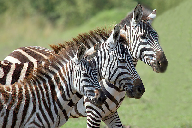 "(It's hard not to like zebra photos!)<div id=""caption_tourlink"" align=""right"">Link to: <a id=""caption_tourlink"" href=""http://www.fieldguides.com/kenya.htm"" target=""_blank"">KENYA</a><br>[photo © Paul Thomas]</div>"