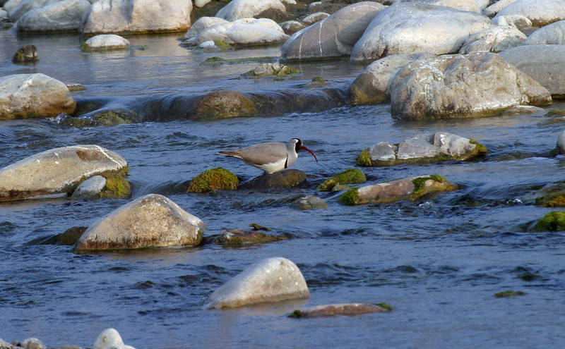 "Voted bird of the trip, an Ibisbill blends in perfectly with the rocky Kosi River, photographed by Northern India participant Ken Havard.<div id=""caption_tourlink"" align=""right"">Link to: <a id=""caption_tourlink"" href=""http://www.fieldguides.com/india.htm"" target=""_blank"">NORTHERN INDIA</a><br>[photo © Ken Havard]</div>"