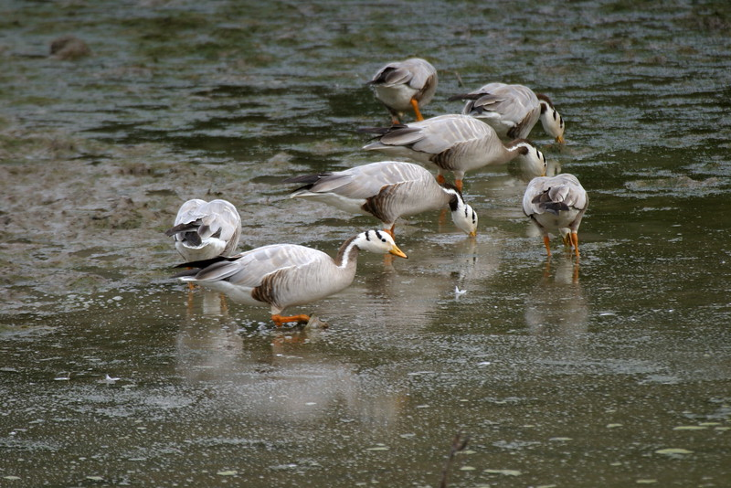 "Our 2008 Northern India tour saw flocks of beautiful Bar-headed Geese -- photographed here by participant Ken Havard -- at six different wetlands, with 150 at Soorwal Reservoir being the largest single group.<div id=""caption_tourlink"" align=""right"">Link to: <a id=""caption_tourlink"" href=""http://www.fieldguides.com/india.htm"" target=""_blank"">NORTHERN INDIA</a><br>[photo © Ken Havard]</div>"
