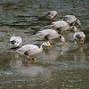 """Our 2008 Northern India tour saw flocks of beautiful Bar-headed Geese -- photographed here by participant Ken Havard -- at six different wetlands, with 150 at Soorwal Reservoir being the largest single group.<div id=""""caption_tourlink"""" align=""""right"""">Link to: <a id=""""caption_tourlink"""" href=""""http://www.fieldguides.com/india.htm"""" target=""""_blank"""">NORTHERN INDIA</a><br>[photo © Ken Havard]</div>"""