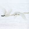 """Turning to birding far (and we mean far!) from the Texas coast, we cross the Pacific to scenes from our Winter Japan: Cranes & Sea-Eagles tour and a selection of photos from guide Phil Gregory.  We begin here with a white-on-white theme: graceful Whooper Swans at Odaito.<div id=""""caption_tourlink"""" align=""""right"""">Link to: <a id=""""caption_tourlink"""" href=""""http://www.fieldguides.com/japan.htm"""" target=""""_blank"""">WINTER JAPAN: CRANES & SEA-EAGLES</a><br>[photo © Phil Gregory]</div>"""